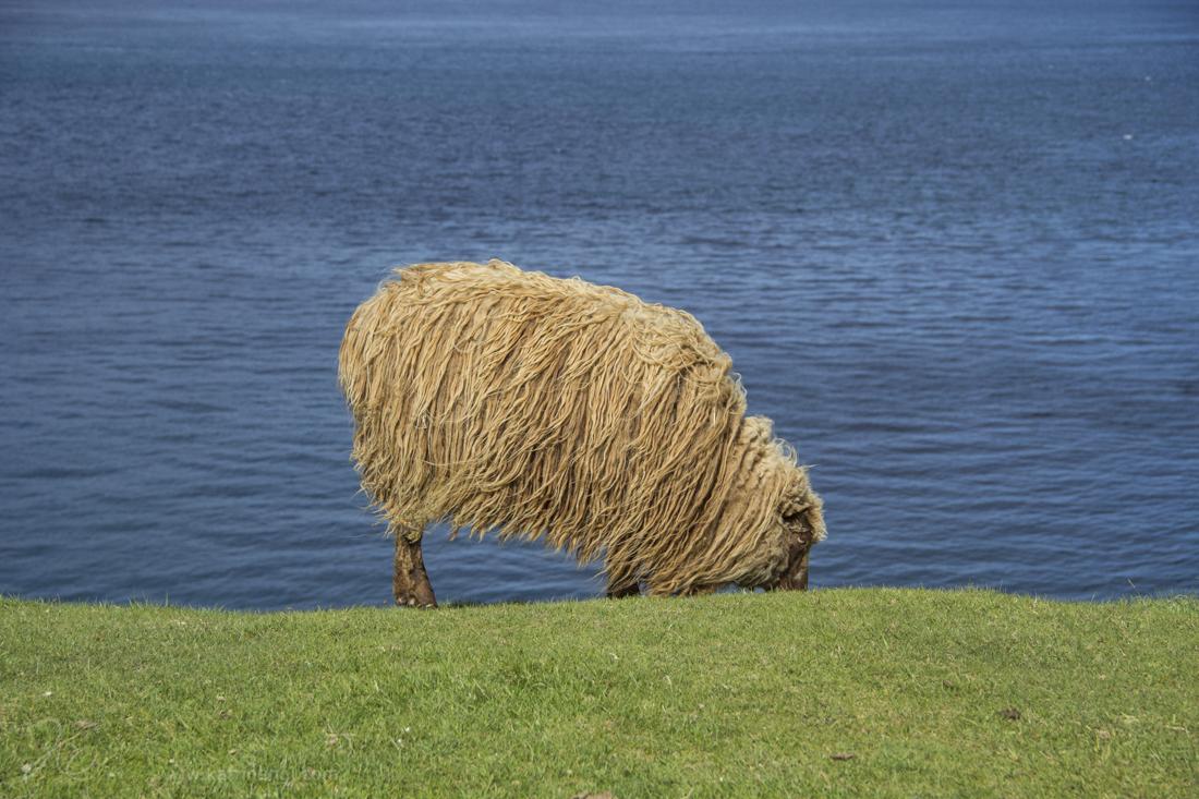 Faroe island sheep