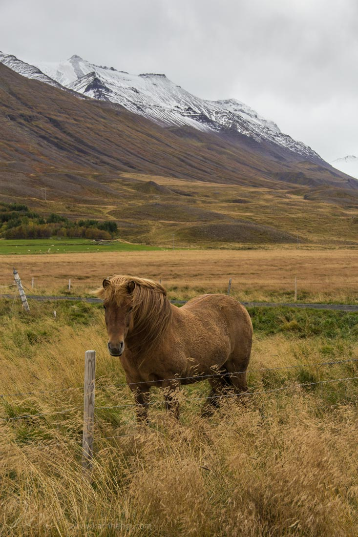 Horse and mountains with first snow in Iceland