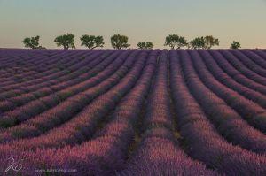 lavender_provence