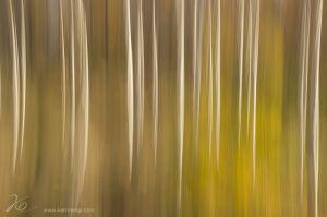abtract_birch_trees
